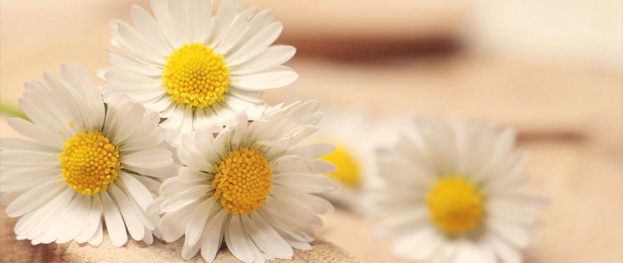 nombre medicinal de la manzanilla es chamaemelum nobile te e infusiones manzanilla