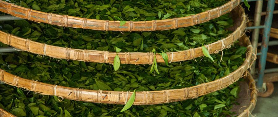 El proceso de elaboración del té oolong