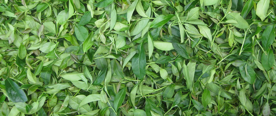 té oolong encuentra el punto medio de oxidación