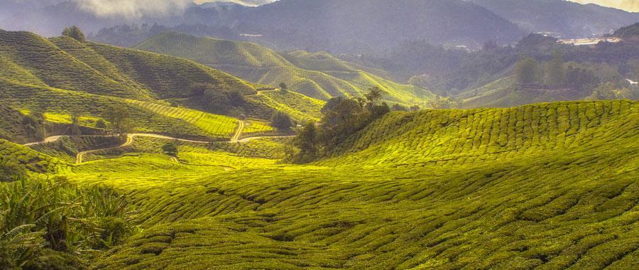 So zum Beispiel auch zu unserem Bio-Tee von Semper Tea green. Semper Tea ist mit dem Bio-Logo der Europäischen Union ausgezeichnet. Dies bedeutet unter anderem ein striktes Verbot der Verwendung chemisch-synthetischer Pflanzenschutz- und Düngemittel. Keine Chance also, dass Pestizide bei Dir in der Tasse landen. Stattdessen kannst Du alle Vorteile des grünen Tees ohne mulmiges Gefühl genießen.